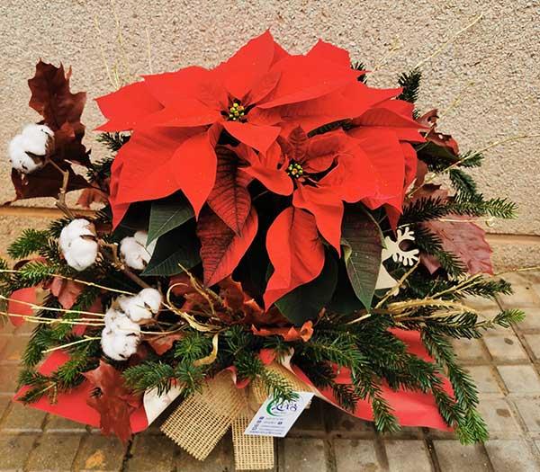 Poinsettia-Nadala