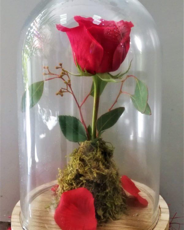 CUPULA-ROSA ROJA